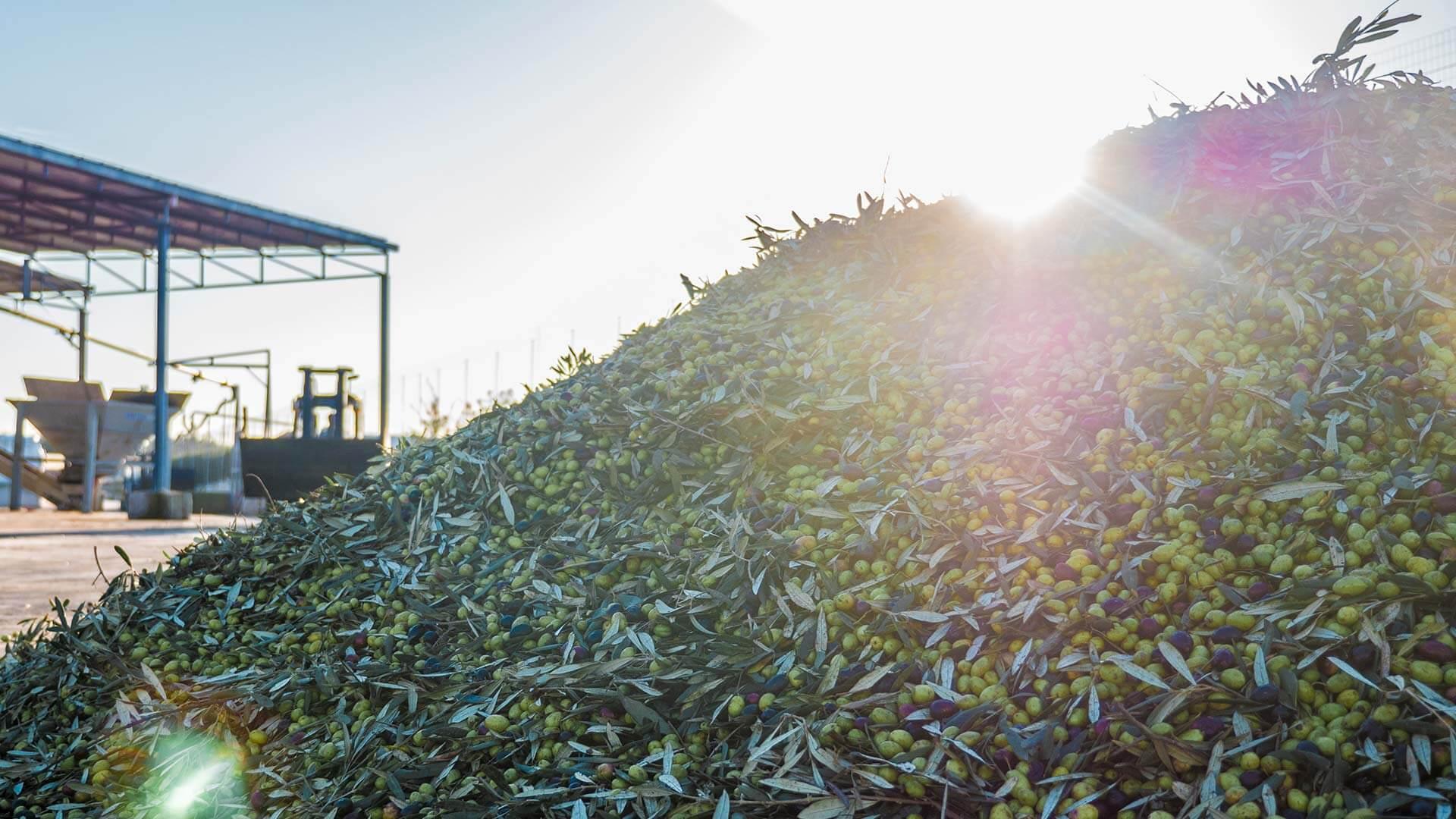 agricola di pietro raccolta olive