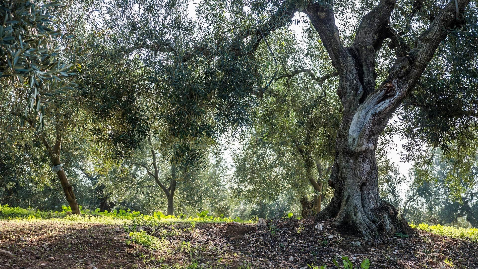 agricola di pietro ulivi